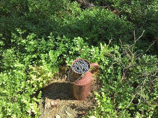 Waldheidelbeeren im Kännchen mitten in Heidelbeersträuchern